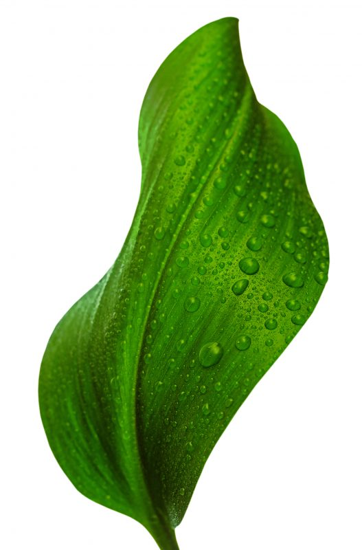 Green leaf covered in water drops